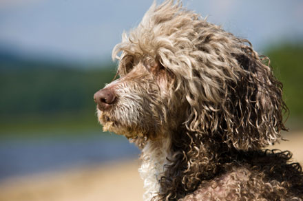 Curly hair, dog, cute, thebeachbums